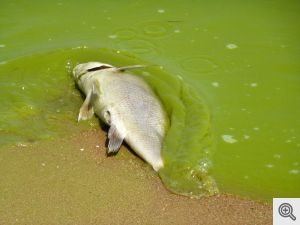 Lake Erie harmful algal bloom dead zone fish kill